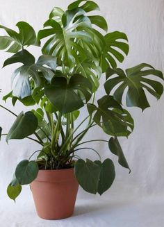 keep your monstera alive ! Monstera plant care is less complicated than you'd think. Here, the experts share their top tips. Monstera Deliciosa, Balcony Plants, Potted Plants, Tall Indoor Plants, Hanging Plants, Cactus Plants, Leafy Plants, Garden Plants, Vertical Gardens