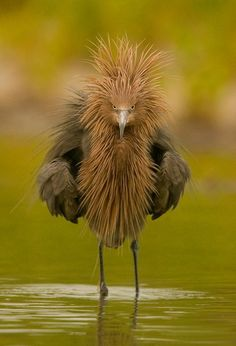 Wading bird(or Muppet?)