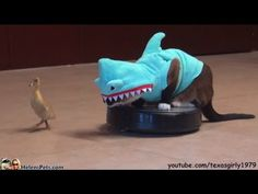 A cat in a shark costume chases a duck while riding on a roomba.  Why?  Well, why not?