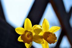 #flowers #narcisi #sunday