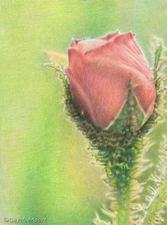"""Unveiling Beauty"" by color pencil artist Carol Moore Original Artwork for sale"