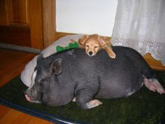 Puppy and pot bellied pig.