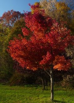 A red maple tree gets its common name from its brilliant red foliage that become the focal point of the landscape in autumn. Read here to find out how to grow a red maple tree. Garden Trees, Trees To Plant, Backyard Trees, Maple Trees Types, Japanese Red Maple Tree, Birch Tree Wedding, Fast Growing Trees, Tree Care, Red Tree