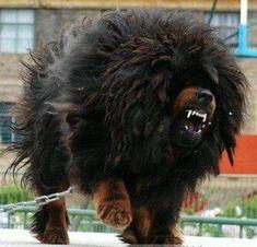 angry tibetan mastiffs - Google Search