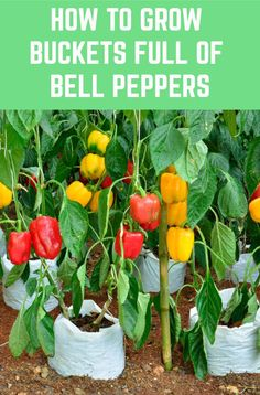 Here's how to grow the most prolific bell pepper plants for an abundant harvest. - How To Grow Buckets Full Of Bell Peppers + Health Benefits & Recipes