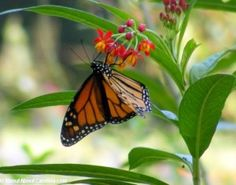 amazing-monarch-at-coastal-discovery-museum-butterfly-exhibit