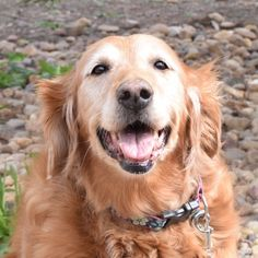 This is Dusty - 12 yrs. She is spayed, current on vaccinations, walks well on leash, good with dogs. She has an agreeable nature and is an affectionate girl. Golden Retriever Rescue Of The Rockies, CO. - http://www.goldenrescue.com/component/hikashop/product/297-dusty