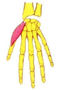 Musculo separador o abductor corto del pulgar