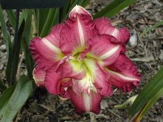 Daylily Lace and Promises - Double Purple Late Daylilies