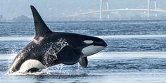 Ban Coal Export Terminals that Endanger Orcas & Other Marine Life