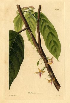 Cacao plant, W Miller.