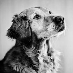 """Via Etsy: 10x10"""" Stray Dog Portrait: Golden Retriever Senna"""