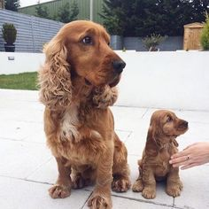 Check out this amazing Cocker Spaniel Dad and his puppy son. Two amazing spaniels that look like a loving family. Cute and small! Perro Cocker Spaniel, Golden Cocker Spaniel, Golden Cocker Retriever, English Cocker Spaniel Puppies, American Cocker Spaniel, Funny Cats And Dogs, Cute Dogs And Puppies, Doggies, Poodle Mix Puppies