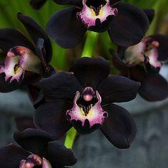 120 negro Cymbidium Faberi única orquídea flor semillas hogar jardín las plantas con flores