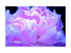 DIGITAL DOWNLOAD Flower Peony Photography Ethereal Pink Blue Lavender cool pink Peony dreamy abstract macro - pinned by pin4etsy.com