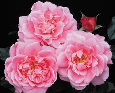 Viking Queen - Climbing Roses - Roses - Heirloom Roses very thorny vines.