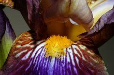 Sexy Iris