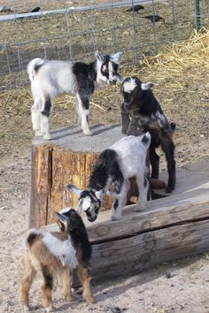 Nigerian Dwarf Goats - Magic Apple Farm, the Andersons Cute Little Animals, Cute Funny Animals, Cute Goats, Mini Goats, Miniature Goats, Nigerian Dwarf Goats, Baby Goats, Animals Beautiful, Animals And Pets