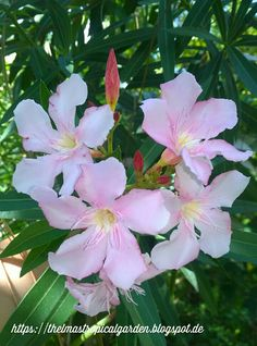Thelma´s Tropical Garden: Oleander, a Toxic Plant?