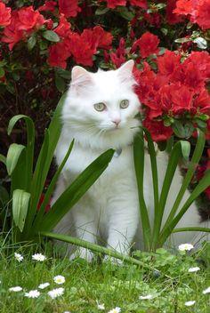 Gorgeous white turkish angora @yummypets