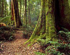 Lake Chisholm Forest Reserve, Tarkine Rainforest, Tasmania