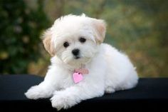7 Cutest Dog Breeds in the World Maltese Poodle Mix, Maltese Dogs, Maltese Facts, Havanese Puppies, Maltipoo Dog, Teacup Maltese, Mini Maltese, Teacup Maltipoo, Baby Maltese