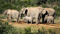 Studie zu Todesursachen: Wilderei bedroht Afrikanische Elefanten