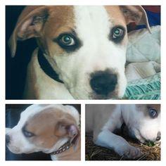 Lost Dog - American Bulldog - New Port Richey, FL, United States