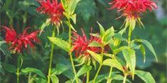 Monarda: indiánská rostlina s vonnými květy i listy