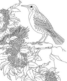 Free printable coloring page kentucky state bird and for Kentucky state flower coloring page