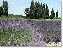 Solérieux, lavendel