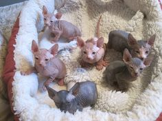 baby hairless cats - Google Search Tap the link Now -  All Things Cats! - Treat Yourself and Your CAT!  Stand Out in a Crowded World!