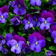 Viola pedata 'Blue Perfection' (Blue Perfection Johnny Jump-ups)