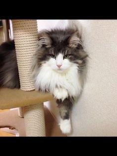 Hyne, Norwegian Forest Cat  猫タワーに挟まるハイネ