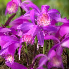 Pleione 'Tongerino' - Wenn Sie Pleione in Ihren Garten pflanzen, verwenden sie am besten humusreiche Erde, im Schatten. Helle Sonne und Trockenheit ist nicht ideal für die Zwiebelblume. Blüte: Frühling, Pflanzzeit: Herbst - online bestellbar bei fluwel.de