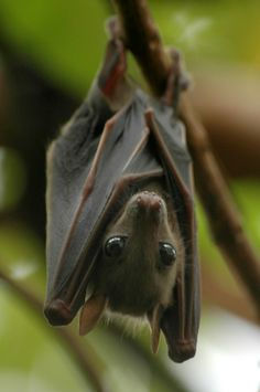 A fruit bat. Isn't it adorable?...