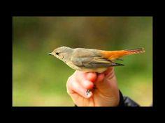 Házi rozsdafarkú Bird, Nature, Youtube, Animals, Naturaleza, Animales, Animaux, Birds, Animal