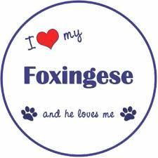 Image result for foxingese dog