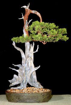 JP: California Juniper (Juniperus californica)  Height: 38 inches, 96.52 cm