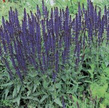 May Night Salvia- Our most popular salvia. This Meadow Sage bears spires of dark blue-purple flowers all summer if deadheaded. Forms neat clumps 18 to 24 inches tall filled with grayish-green, aromatic foliage. Resists diseases and tolerates heat and drought.