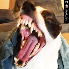 by @cheri_gietz . . Stop before I pee.... Lol . . . #Roscoe#run#happy#handsome#happyboy#happiness#life#love#laugh#laughs#laughing#terrier#jrt#jack#jrteam#jrtlove#jack#JackPower#jackrussel#jackrussell#jackrussellterrier#selfie#alligator#photooftheday#picoftheday#partytime#toocute#toofunny#best#bestoftheday#bestwoof
