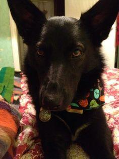 Bonnie wearing her 'Dino Dude' dog bandana by Dudiedog Bandanas