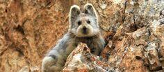Raro mamífero inacreditavelmente fofo é redescoberto Pika-de-Ili (Ochotona iliensis)