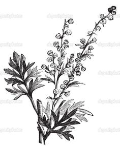 Absinthe plant, Artemisia absinthium or wormwood engraving illustration,. Engraving Illustration, Antique Illustration, Botanical Illustration, Artemisia Absinthium, Botanical Tattoo, Botanical Prints, Wax Stamp, Leaf Logo, Herbs
