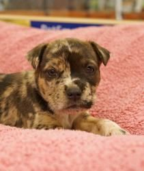 Emily (beautiful baby puppy!) is an adoptable Catahoula Leopard Dog Dog in Houston, TX. Emily is a sweet 6-7 week old Catahoula mix. She's been socialized around dogs, cats and people. Just like all...