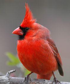 "fat-birds: "" fat-birds: ""Cardinal male c by hoganphoto on Flickr. "" nice mohawk, where'd you get it? """