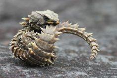 Cordylus cataphractus, espèce endémique d'Afrique du Sud. Il vit dans les crevasses et fissures des rochers. Son moyen de défense est atypique, lorsqu'il est effrayé il saisit sa queue dans sa gueule et se met en boule (comme le tatou) et son ventre est ainsi protégé par une armure d'écailles et de piquants.