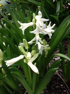 White Hiacynths