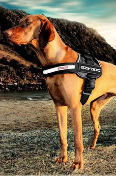 Head outdoors with your dog in comfort and safety with the EzyDog Convert Harness; adjustable and available in a wide range of sizes to fit any pet.