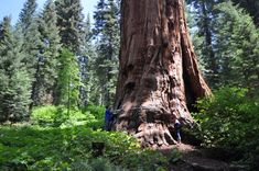 Giant sequoia 'Genesis' east of Balch Park, Mountain Home Demonstration Forest, United States